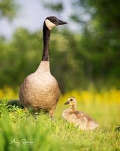 A fearful look from the parent. These are very wild geese, not townies.