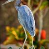 Little blue heron  in my backyard!