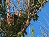 Red-shouldered Hawk Chick, Rancho Laguna Park, Moraga, CA