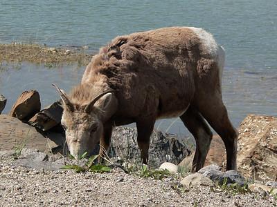Bighorn Ewe  Near Jasper 2007-06-01  .