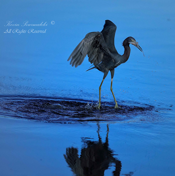 Little Blue Heron.  Everglades Park.  South Florida.