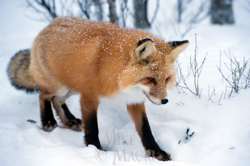 Red fox  hunting rodents.