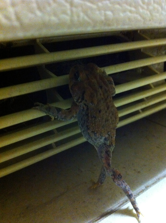 I saw this frog under my frig one evening and grabbed a quick photo before the cats found him. I'm not sure if he was looking to escape or was just tired of sitting on all fours.