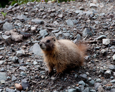 On Imogene Pass, this large marmot peeked out to see the people go by.