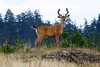 A buck black-tailed deer with a full rack of antlers standing on a hill.
