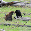 """Black Bears kissing. We first found the bear on the right, watched it for 45 minutes or so, then the Cinnamon bear on the left walked down the creek at first startling the first bear. They then proceeded to watch each other, bluff charge and then approached each other with a short """"kiss""""! Photography by Jim R Harris Bozeman Montana Photographer."""