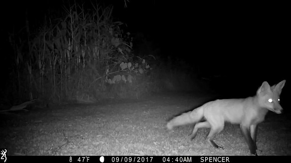 My guess is that the fox sees a rabbit, however there is a yard fence blocking him from getting to it.