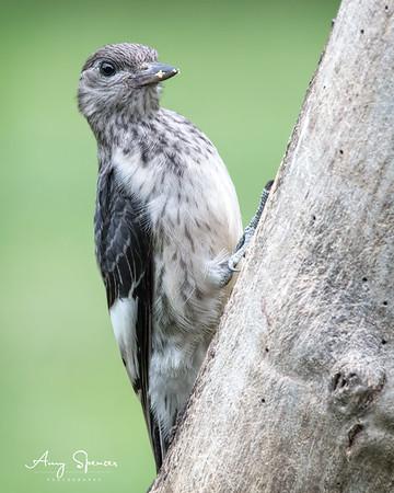 Redheaded Woodpecker Fledgling