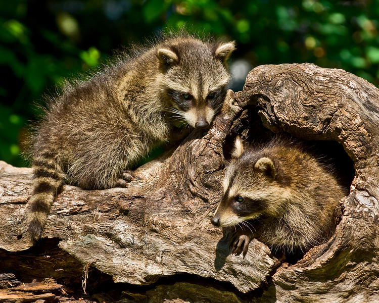 A pair of young raccoons play in a log