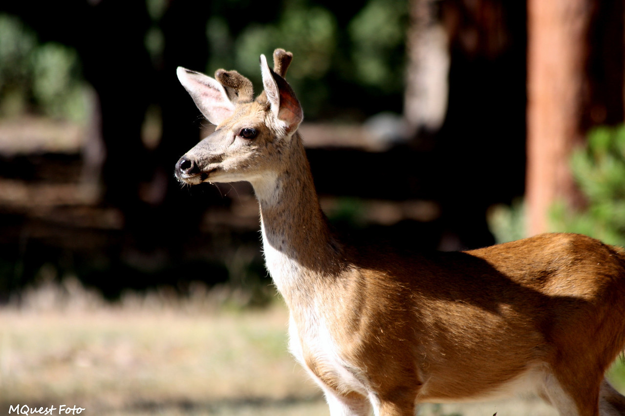 Deer at Sequoia National Park / Kings canyon