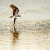 Osprey Snatches Lunch