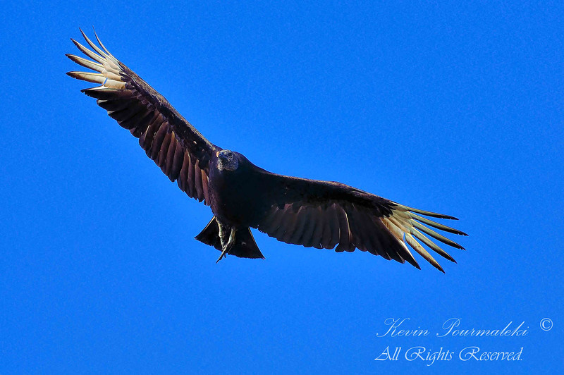Black Vulture.  Everglades National Park, South Florida.