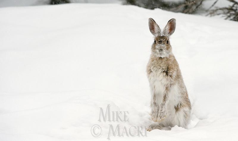 snowshoe hare, early spring