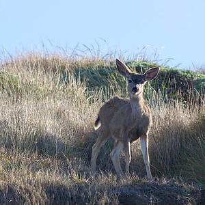Deer - Point Reyes