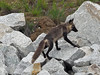 Moma fox