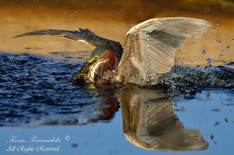 Green Heron. Everglades Park, South Florida.
