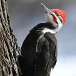 Pileated Woodpecker 01