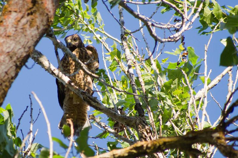 Daring juvenile climbing onto a branch part 1