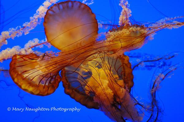 Jellyfish, Monterey Bay Aquarium, CA