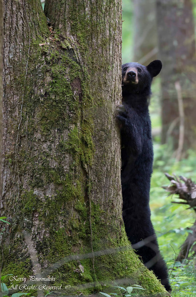 Black Bear, Great Smoky National Park, Tennessee.