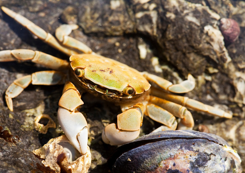 A small green and yellow beach crab looking upwards with pincers at the ready to protect itself from predators.