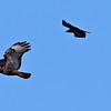 Harrier Hawk chased by blackbird