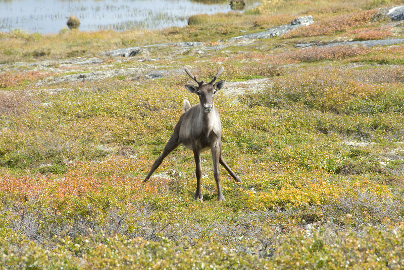 A young and curious caribou just hanging out with us