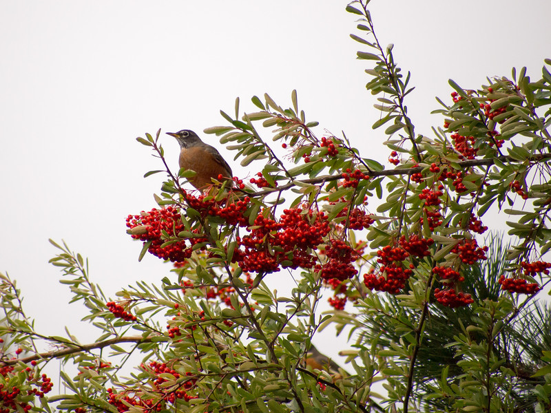 A brief respite from the rain before this Robin continues to gorge on the Pyracantha Berries