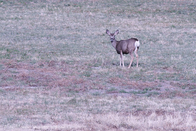 Mule Deer looking back
