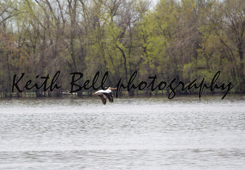 Pelican flying above Little Lake Buttes Des Morts