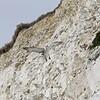 White Cliffs of Dover 18-04-15  0035