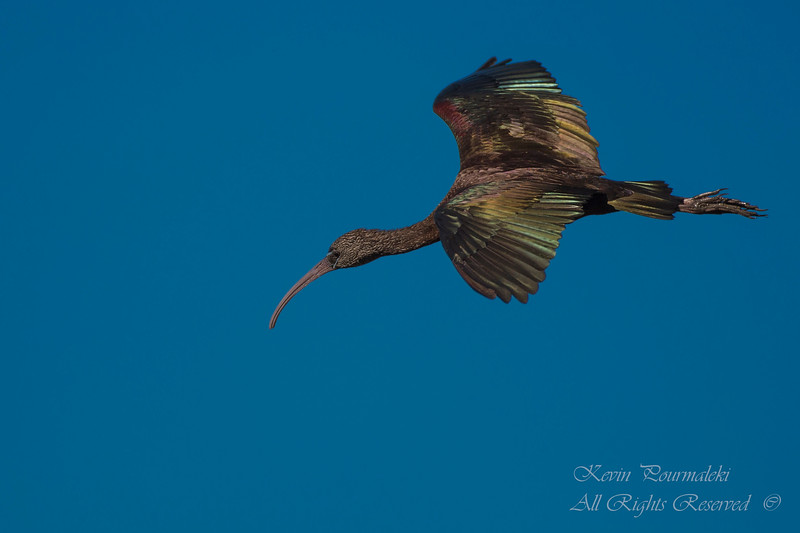 Glossy Ibis. South Florida