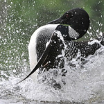 Common Loon 07