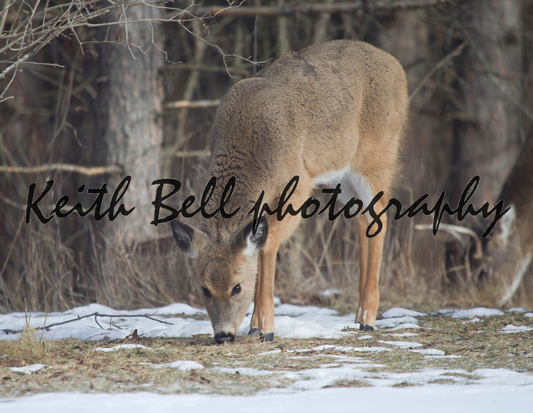 A Whitetail Deer doe eating with a buck standing behind her in the snow on Wisconsin winter day.