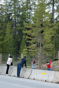 Near Banff;  not a good situation.  Tourists 30 feet or less from a tree with a momma black bear and her cubs and the tree is on the people side of the fence.