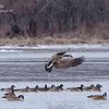 Canadian Geese. Pere Marquette State Park, Illinois