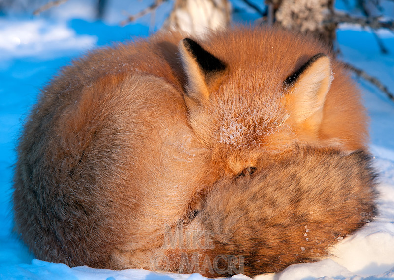 Red fox at rest