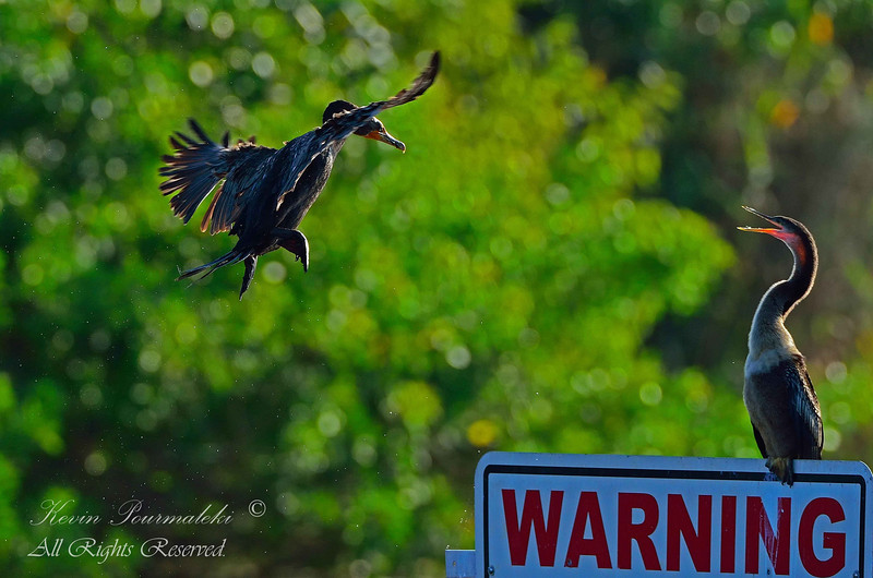 Cormorant vs. Anhinga, Everglades Park, South Florida.