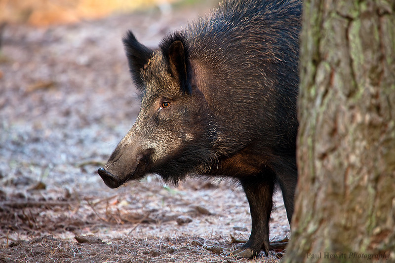 New Forest Boar 1
