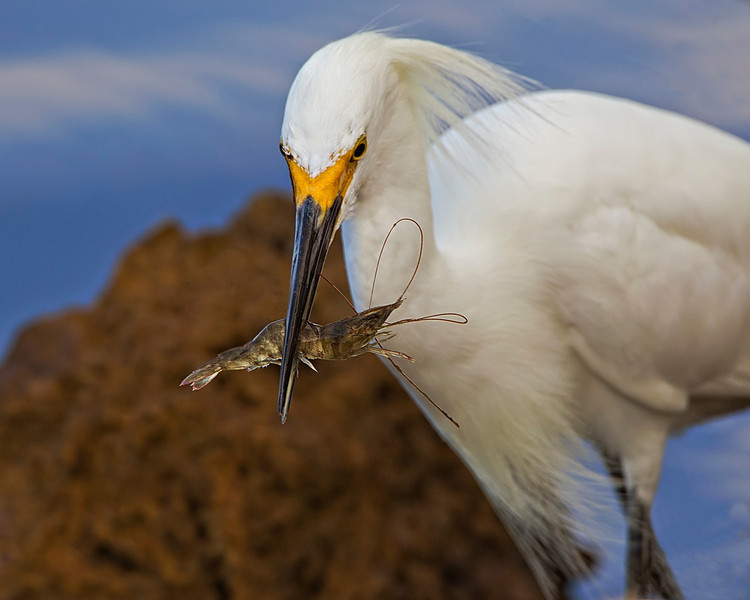 Snowy Egret with Dinner