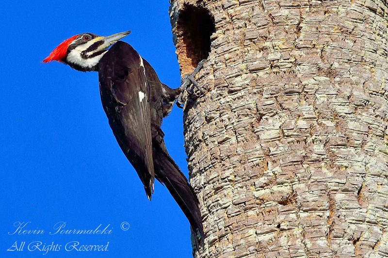 Pileated Woodpecker.  Everglades National Park.  South Florida.