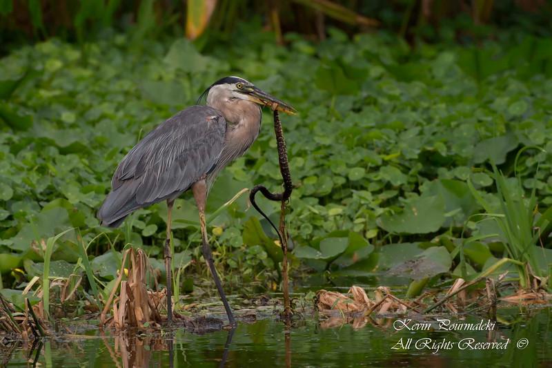Blue Heron catching a snake.  South Florida