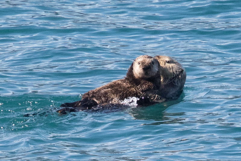 Sea otter mother and young