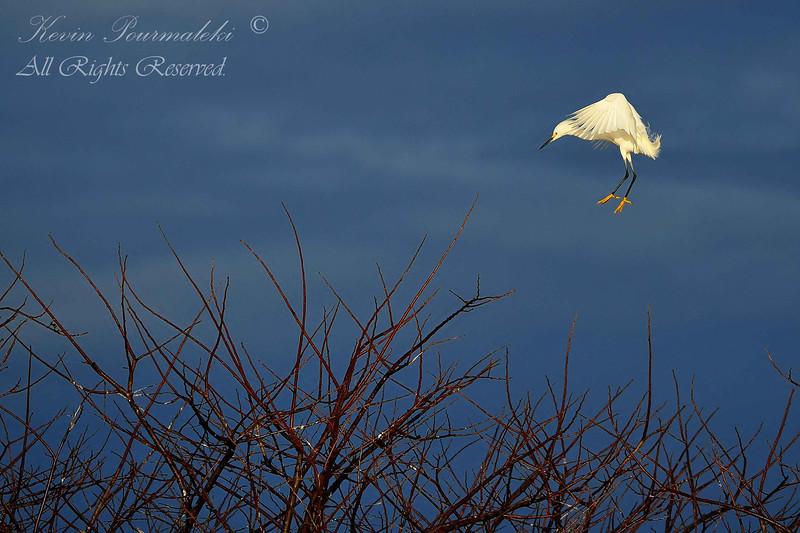 Snowy Egret.  Everglades Park.  South Florida.
