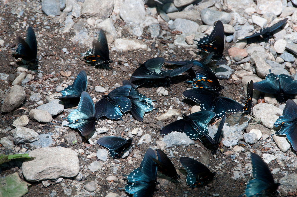 Another photo of the butterflies gathered near the creek's edge getting a drink.