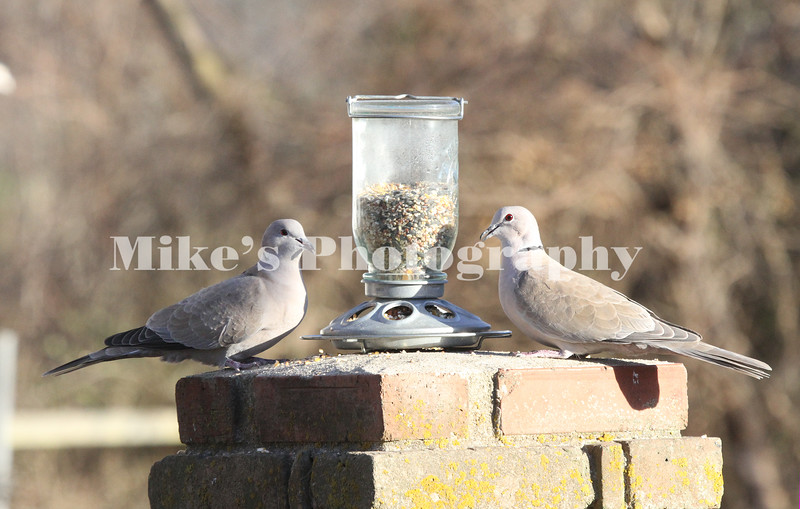 two turttle doves at feeder