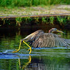 Tri Color Heron. Everglades Park, South Florida.