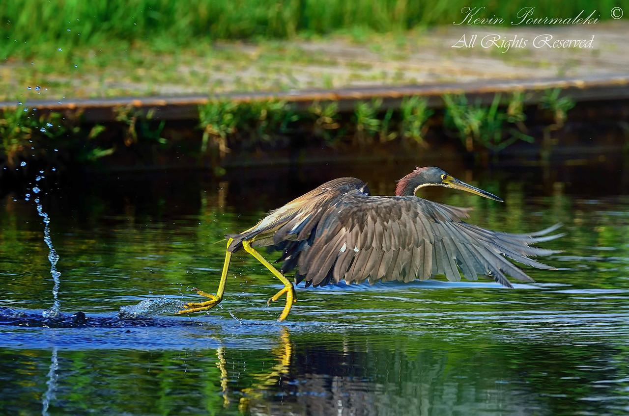 Tri Color Heron. Everglades Park, South Florida.