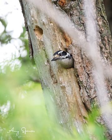 Downy Woodpecker at nest