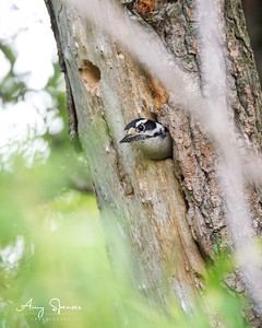 Downy Woodpecker at nest